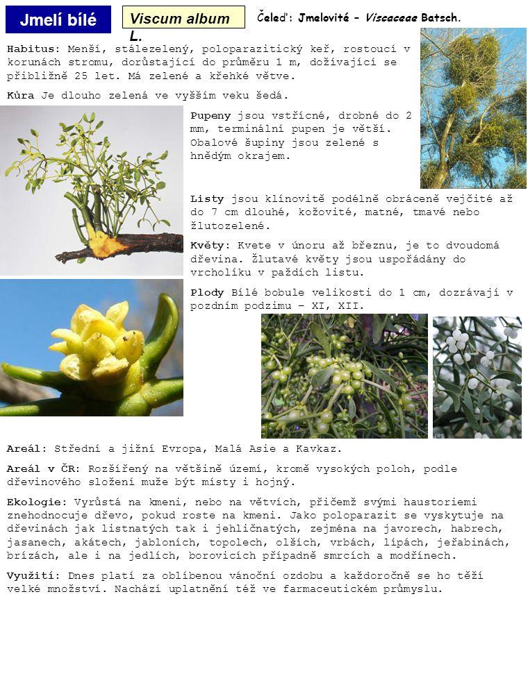 Jmelí bílé Viscum album L. Habitus: Menší, stálezelený, poloparazitický keř, rostoucí v korunách stromu, dorůstající do průměru 1 m, dožívající se při