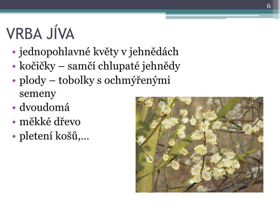 VRBA JÍVA jednopohlavné květy v jehnědách kočičky – samčí chlupaté jehnědy plody – tobolky s ochmýřenými semeny dvoudomá měkké dřevo pletení košů,… 6
