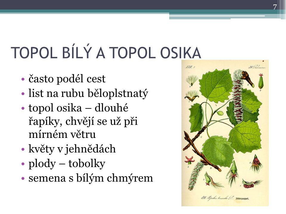 TOPOL BÍLÝ A TOPOL OSIKA často podél cest list na rubu běloplstnatý topol osika – dlouhé řapíky, chvějí se už při mírném větru květy v jehnědách plody