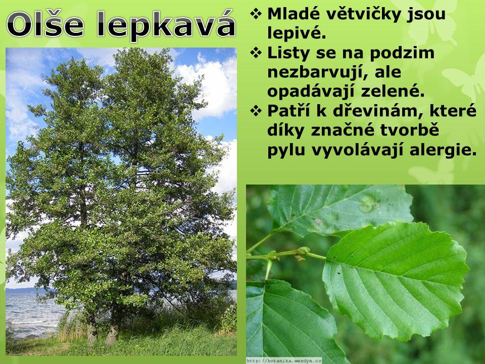 Vrba bílá je jeden z nejrozšířenějších druhů vrb.Je to statný strom s průměrem kmene až přes 1 m.