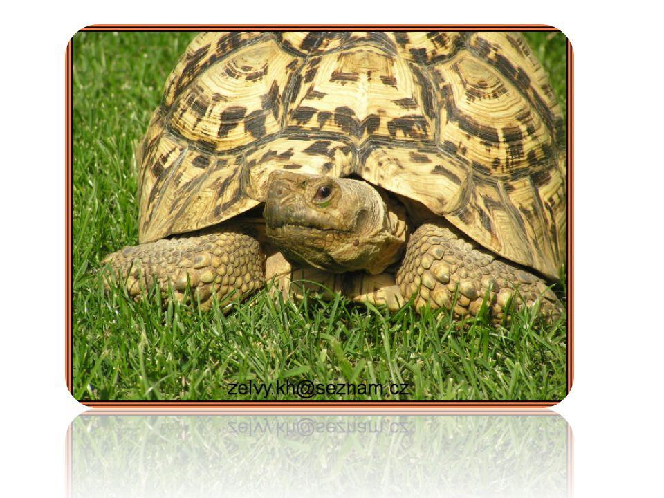 Něco oní Želvy (Testudines) se od ostatních plazů odlišují především tím, že je jejich tělo obvykle chráněno krunýřem Suchozemské želvy jsou proslulé svým pomalým tempem pohybu, který je zapříčiněn jednak jejich těžkým a velkým krunýřem.
