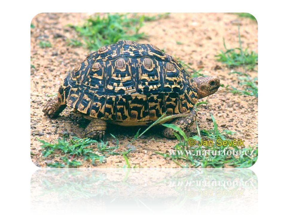 Dále o ní Sladkovodní želvy, které žijí částečně i na souši, mají na končetinách plovací blány a dlouhé drápy.