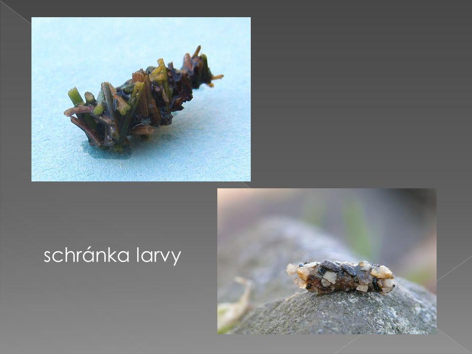 schránka larvy