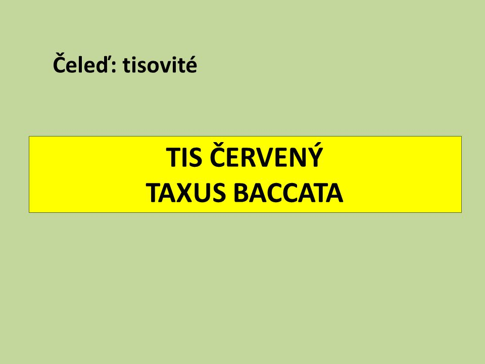 TIS ČERVENÝ TAXUS BACCATA Čeleď: tisovité
