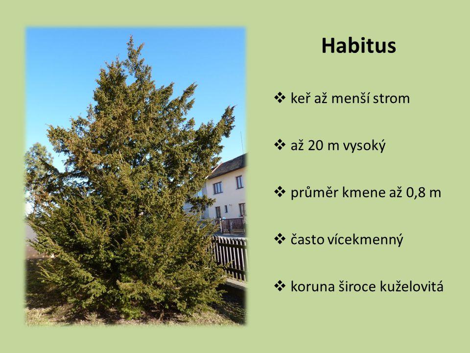 Habitus  keř až menší strom  až 20 m vysoký  průměr kmene až 0,8 m  často vícekmenný  koruna široce kuželovitá