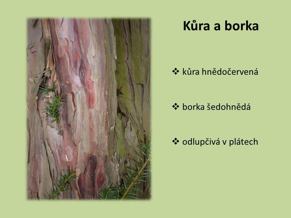 Kůra a borka  kůra hnědočervená  borka šedohnědá  odlupčivá v plátech