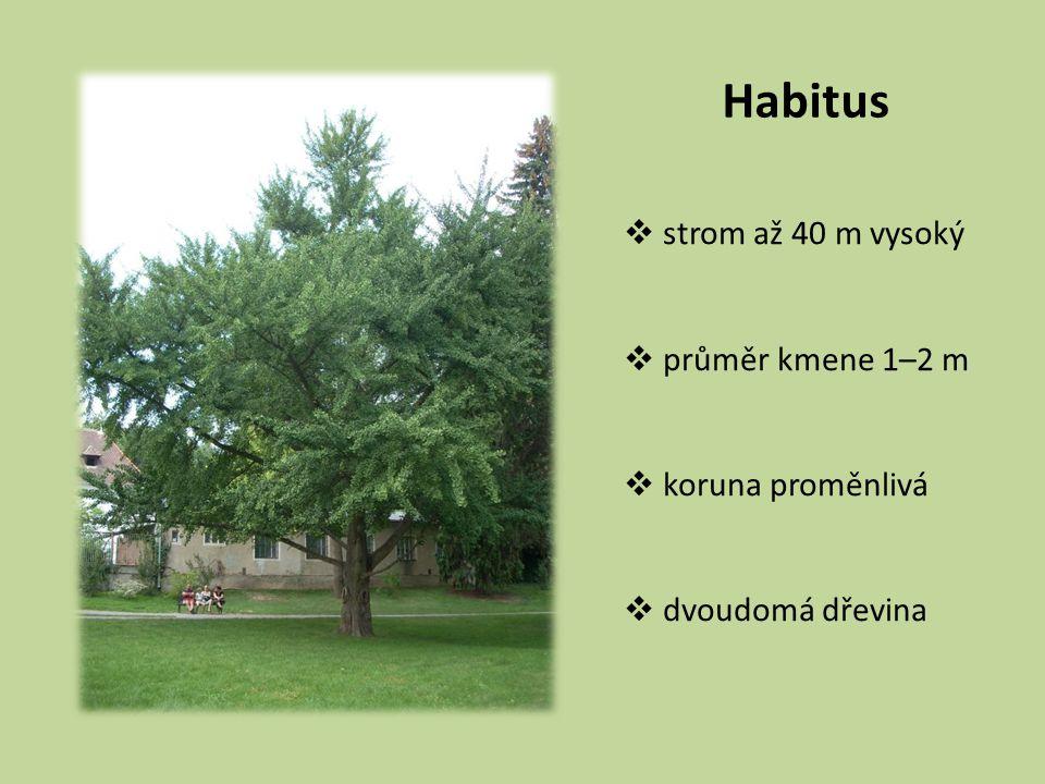 Habitus  strom až 40 m vysoký  průměr kmene 1–2 m  koruna proměnlivá  dvoudomá dřevina
