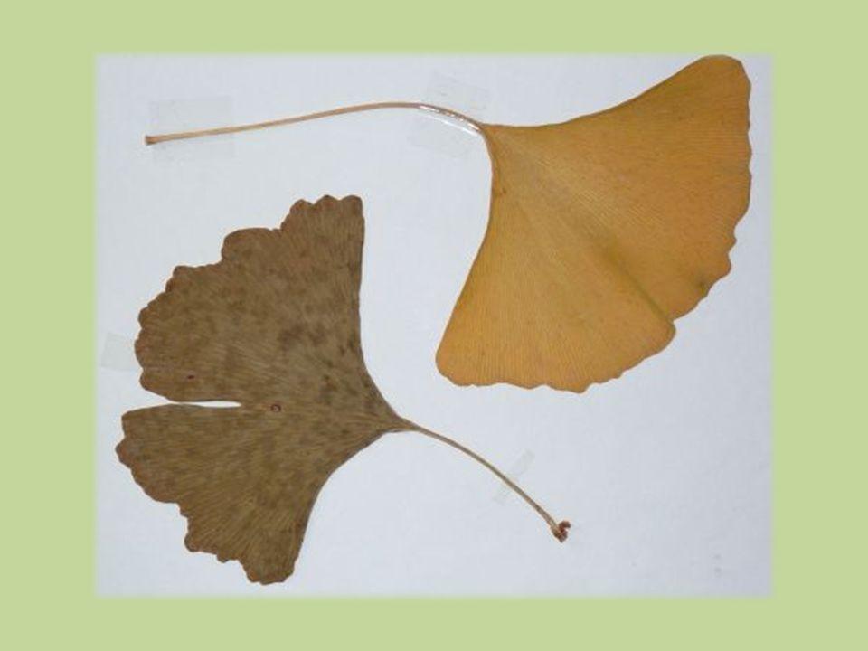 Semena  kulovitá, 2–3 cm velká  nezralá zelená  zralá žlutá na dlouhé stopce  vnější osemení dužnaté, páchnoucí  vnitřní osemení tvrdé, peckovité  uvnitř jedlé jádro