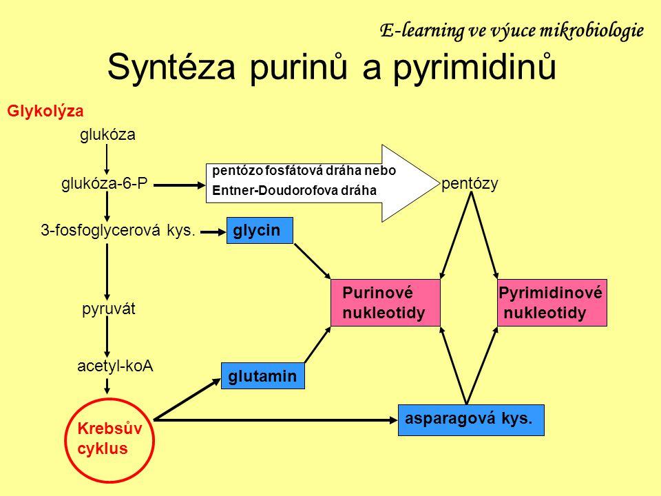 Syntéza purinů a pyrimidinů Glykolýza glukóza glukóza-6-P 3-fosfoglycerová kys. pyruvát acetyl-koA Krebsův cyklus pentózy pentózo fosfátová dráha nebo