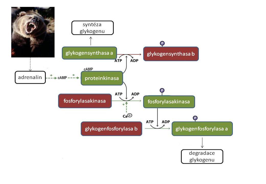 Biochemie: statická (látkové složení organismů, vlastnosti biomolekul, vztah struktury a funkce) dynamická (metabolismus, bioenergetika) funkční (fysiologické projevy na molekulové úrovni) nadmolekulových struktur (= organizační)