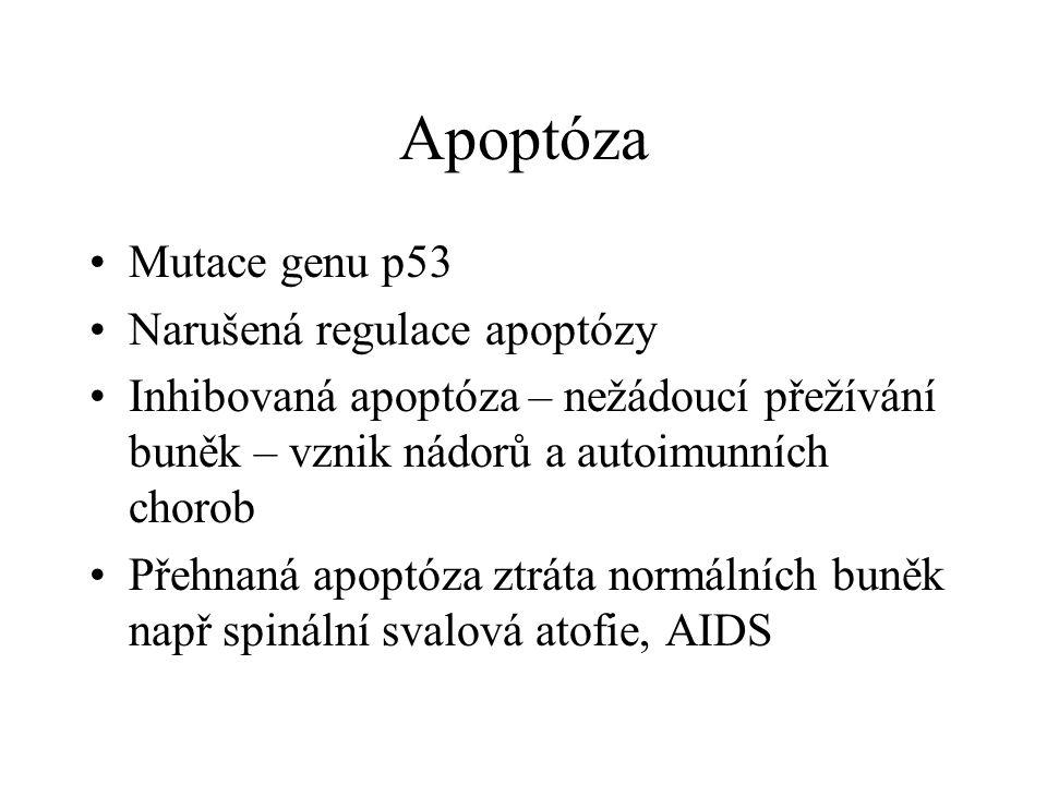 Apoptóza Mutace genu p53 Narušená regulace apoptózy Inhibovaná apoptóza – nežádoucí přežívání buněk – vznik nádorů a autoimunních chorob Přehnaná apoptóza ztráta normálních buněk např spinální svalová atofie, AIDS