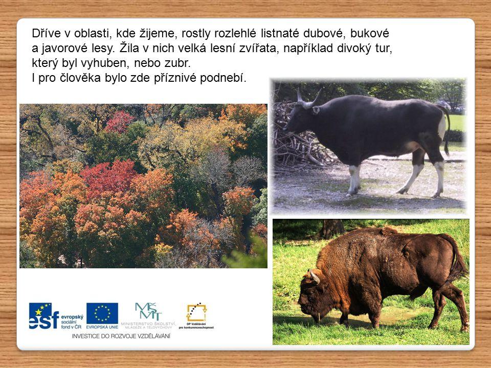 Dříve v oblasti, kde žijeme, rostly rozlehlé listnaté dubové, bukové a javorové lesy. Žila v nich velká lesní zvířata, například divoký tur, který byl