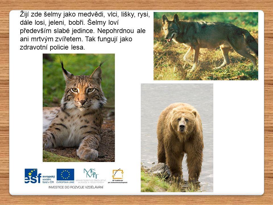 Žijí zde šelmy jako medvědi, vlci, lišky, rysi, dále losi, jeleni, bobři. Šelmy loví především slabé jedince. Nepohrdnou ale ani mrtvým zvířetem. Tak