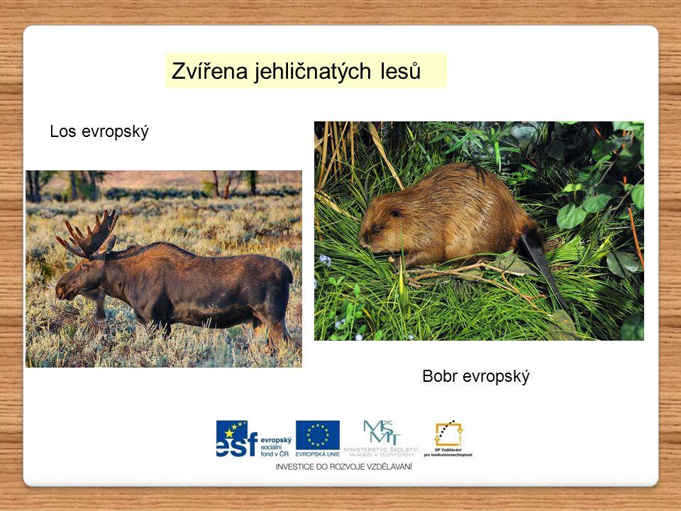 Los evropský Bobr evropský Zvířena jehličnatých lesů