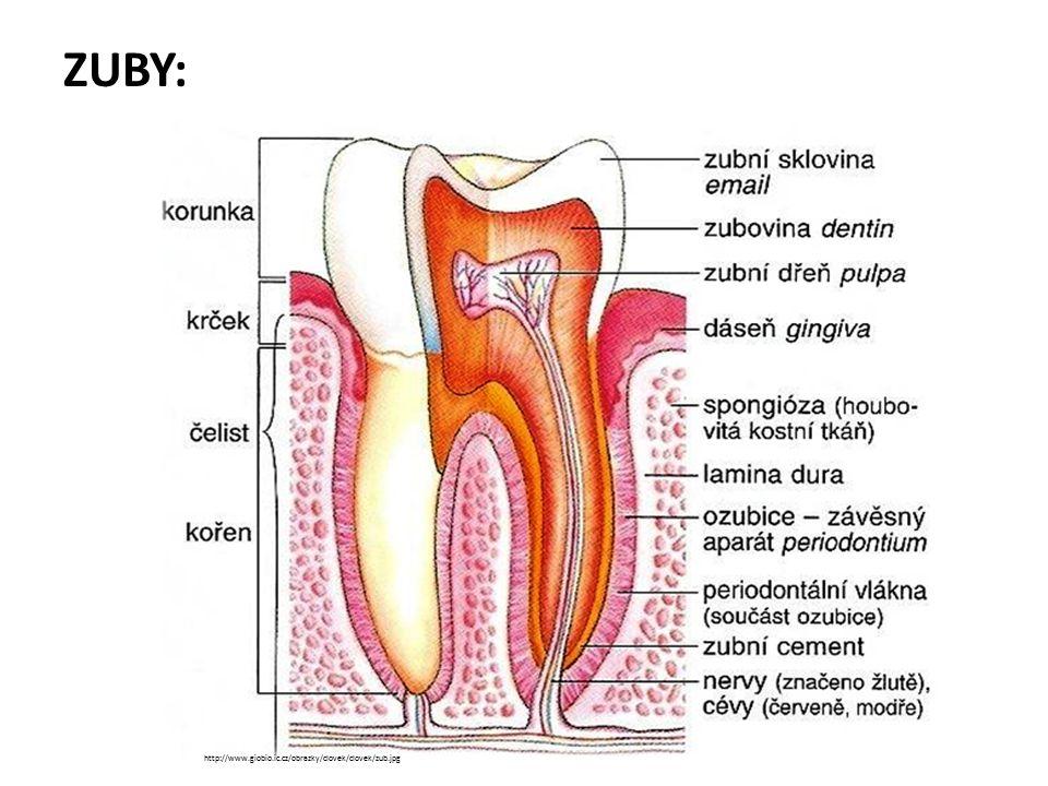 4 druhy zubů: řezáky, špičáky, zuby třenové a stoličky definitivní chrup: dospělí, 28 zubů (32 s osmičkami) = 8 ř., 4 š., 8 t., 12 s.
