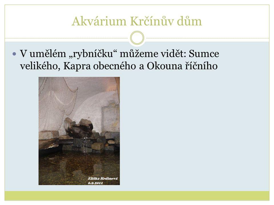 """Akvárium Krčínův dům V umělém """"rybníčku můžeme vidět: Sumce velikého, Kapra obecného a Okouna říčního"""