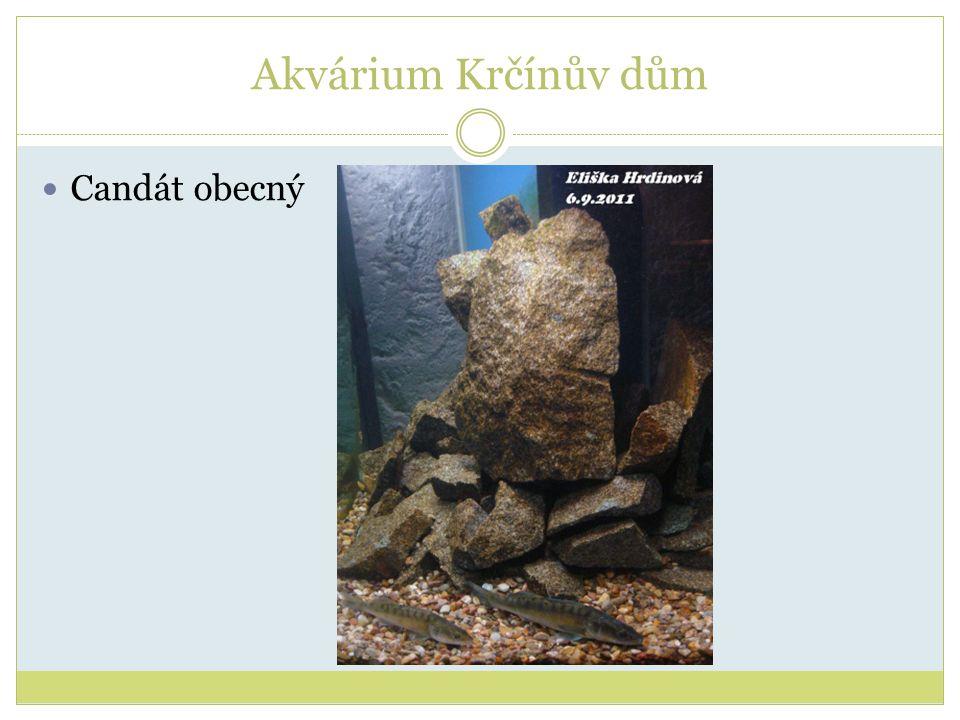 Akvárium Krčínův dům Candát obecný