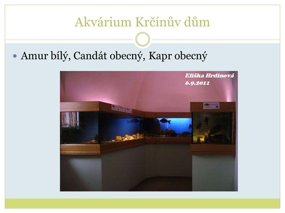 Akvárium Krčínův dům Amur bílý, Candát obecný, Kapr obecný