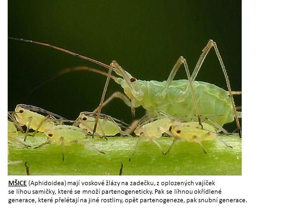 MŠICE (Aphidoidea) mají voskové žlázy na zadečku, z oplozených vajíček se líhou samičky, které se množí partenogeneticky.