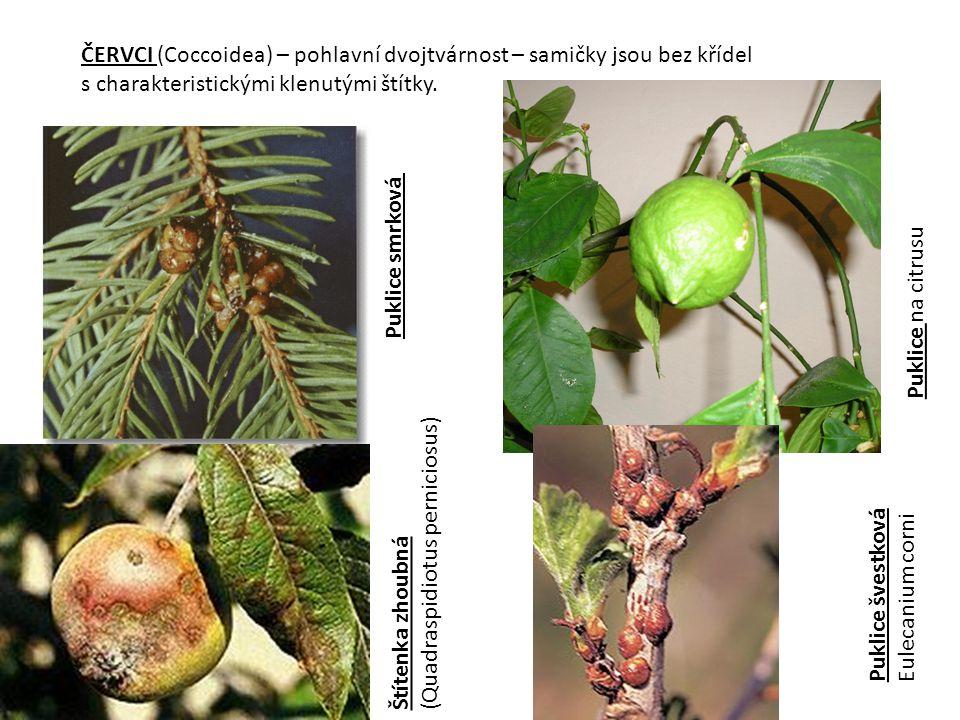 ČERVCI (Coccoidea) – pohlavní dvojtvárnost – samičky jsou bez křídel s charakteristickými klenutými štítky. Puklice smrková Štítenka zhoubná (Quadrasp