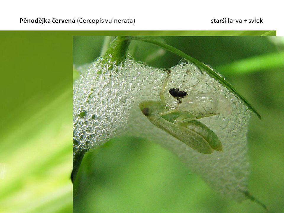 Pěnodějka červená (Cercopis vulnerata) starší larva + svlek
