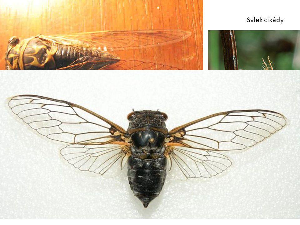 Svlek cikády Cikáda sp. (Cicada sp.) Nymfy žijí v půdě, náznak holometabolie. Samci vydávají velmi nápadné cvrčivé zvuky. Cikáda sedmnáctiletá (Cicada