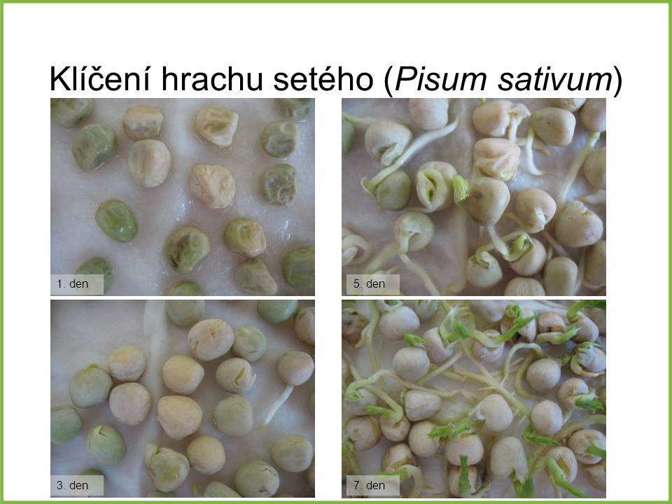 Klíčení hrachu setého (Pisum sativum) 1. den 3. den 5. den 7. den