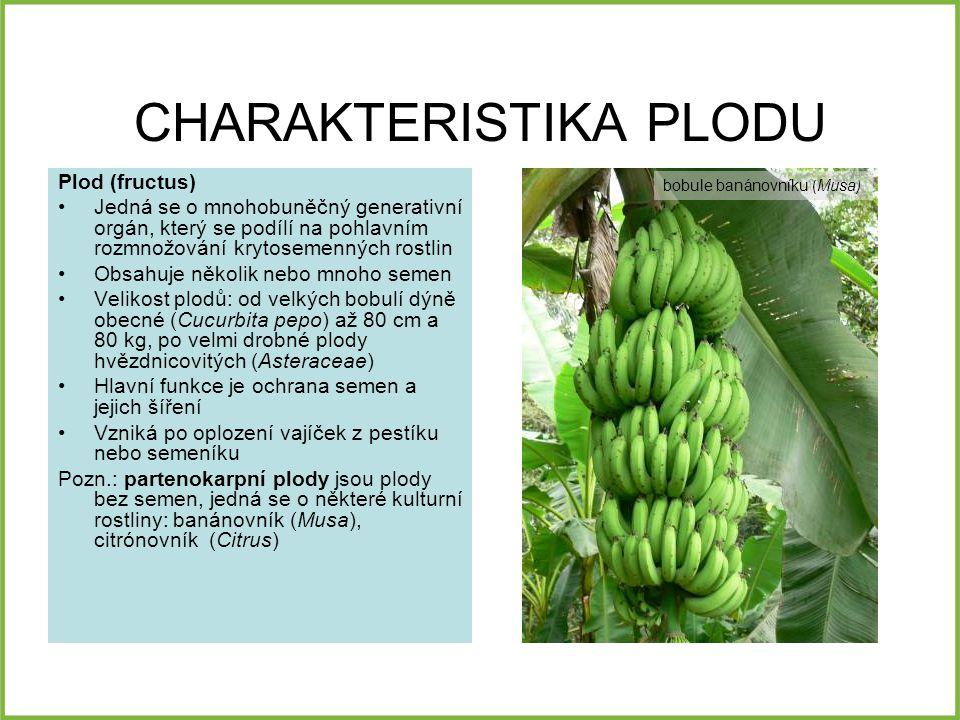 CHARAKTERISTIKA PLODU Plod (fructus) Jedná se o mnohobuněčný generativní orgán, který se podílí na pohlavním rozmnožování krytosemenných rostlin Obsahuje několik nebo mnoho semen Velikost plodů: od velkých bobulí dýně obecné (Cucurbita pepo) až 80 cm a 80 kg, po velmi drobné plody hvězdnicovitých (Asteraceae) Hlavní funkce je ochrana semen a jejich šíření Vzniká po oplození vajíček z pestíku nebo semeníku Pozn.: partenokarpní plody jsou plody bez semen, jedná se o některé kulturní rostliny: banánovník (Musa), citrónovník (Citrus) bobule banánovníku ( Musa )