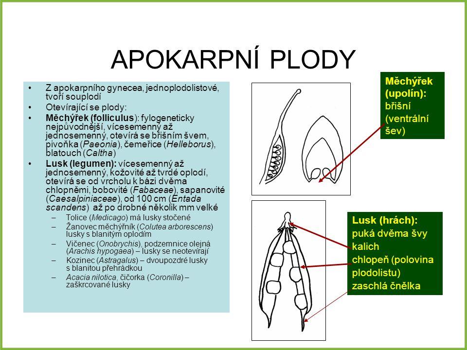 APOKARPNÍ PLODY Z apokarpního gynecea, jednoplodolistové, tvoří souplodí Otevírající se plody: Měchýřek (folliculus): fylogeneticky nejpůvodnější, vícesemenný až jednosemenný, otevírá se břišním švem, pivoňka (Paeonia), čemeřice (Helleborus), blatouch (Caltha) Lusk (legumen): vícesemenný až jednosemenný, kožovité až tvrdé oplodí, otevírá se od vrcholu k bázi dvěma chlopněmi, bobovité (Fabaceae), sapanovité (Caesalpiniaceae), od 100 cm (Entada scandens) až po drobné několik mm velké –Tolice (Medicago) má lusky stočené –Žanovec měchýřník (Colutea arborescens) lusky s blanitým oplodím –Vičenec (Onobrychis), podzemnice olejná (Arachis hypogaea) – lusky se neotevírají –Kozinec (Astragalus) – dvoupozdré lusky s blanitou přehrádkou –Acacia nilotica, čičorka (Coronilla) – zaškrcované lusky Měchýřek (upolín): břišní (ventrální šev) Lusk (hrách): puká dvěma švy kalich chlopeň (polovina plodolistu) zaschlá čnělka