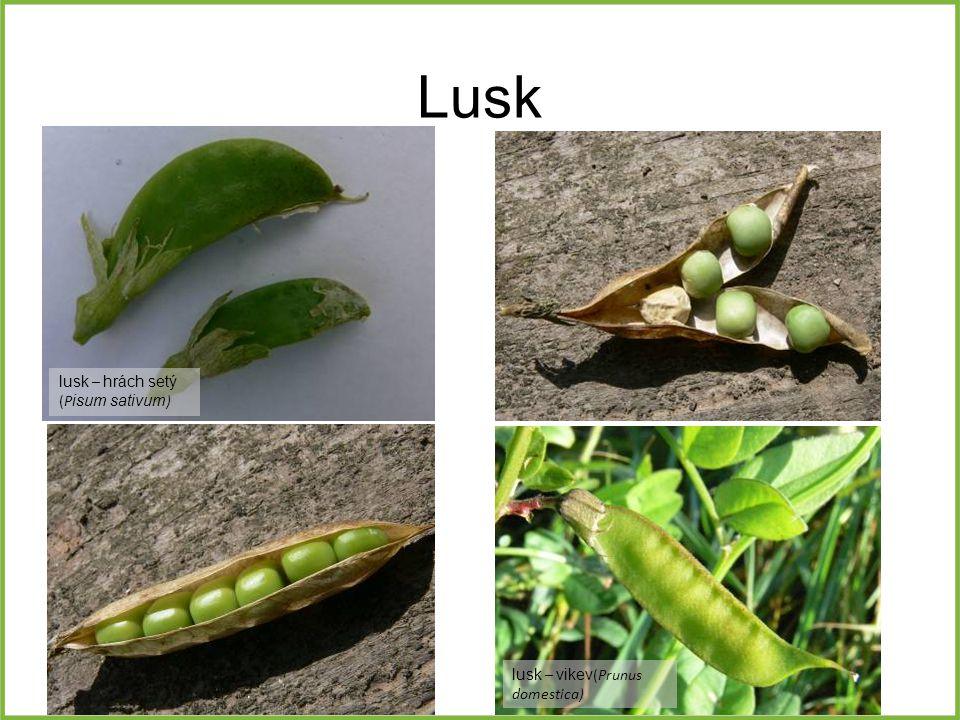 Lusk lusk – hrách setý (P isum sativum ) lusk – vikev (Prunus domestica)