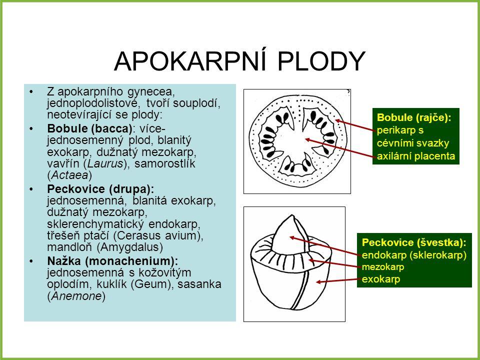 APOKARPNÍ PLODY Z apokarpního gynecea, jednoplodolistové, tvoří souplodí, neotevírající se plody: Bobule (bacca): více- jednosemenný plod, blanitý exokarp, dužnatý mezokarp, vavřín (Laurus), samorostlík (Actaea) Peckovice (drupa): jednosemenná, blanitá exokarp, dužnatý mezokarp, sklerenchymatický endokarp, třešeň ptačí (Cerasus avium), mandloň (Amygdalus) Nažka (monachenium): jednosemenná s kožovitým oplodím, kuklík (Geum), sasanka (Anemone) Bobule (rajče): perikarp s cévními svazky axilární placenta Peckovice (švestka): endokarp (sklerokarp) mezokarp exokarp