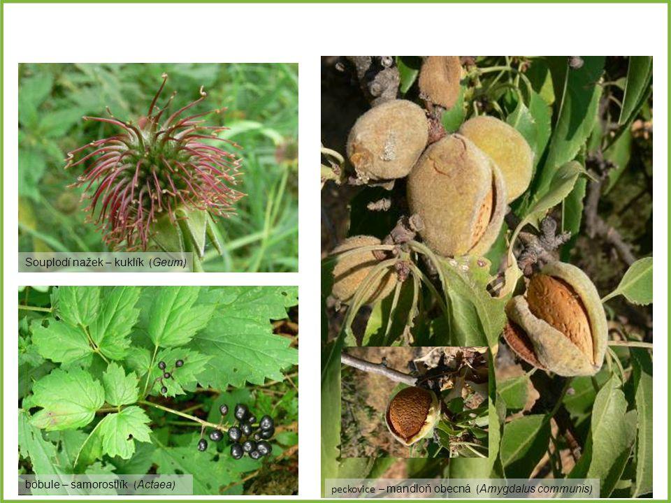 peckovice – mandloň obecná ( Amygdalus communis ) Souplodí nažek – kuklík ( Geum ) bobule – samorostlík ( Actaea )