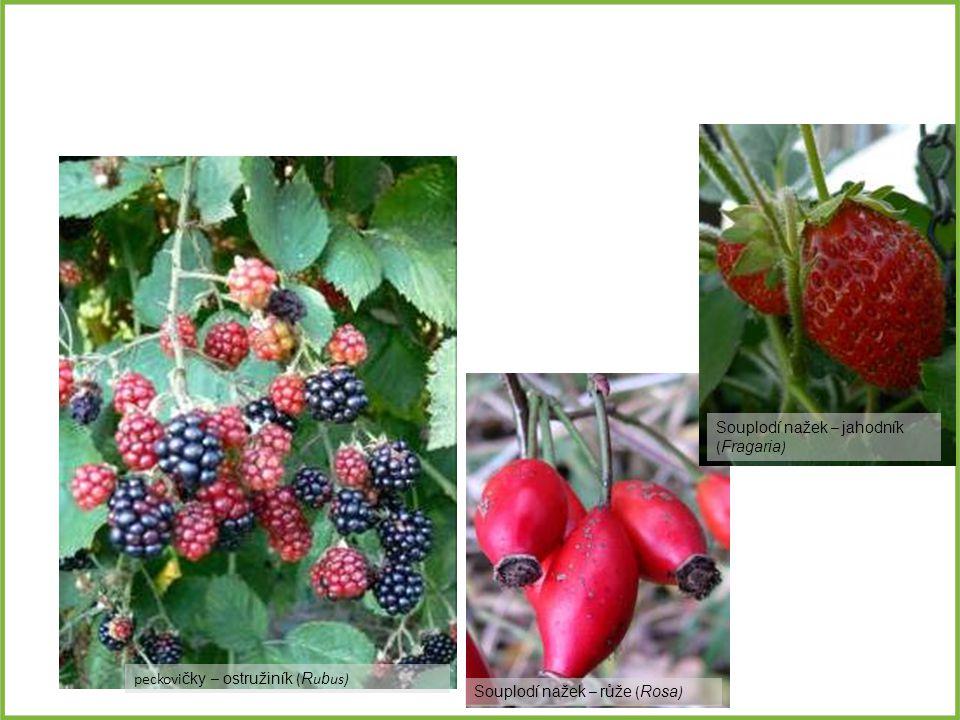 peckovi čky – ostružiník ( R u b us) Souplodí nažek – jahodník ( Fragaria ) Souplodí nažek – růže ( Rosa )