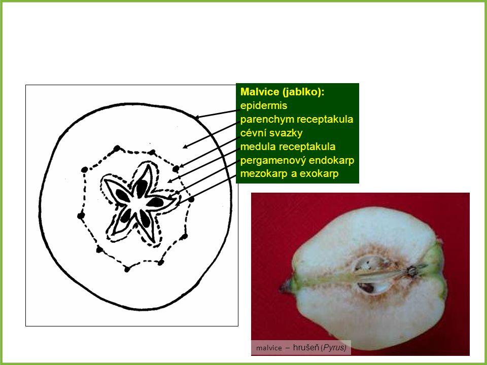 Malvice (jablko): epidermis parenchym receptakula cévní svazky medula receptakula pergamenový endokarp mezokarp a exokarp malvice – hrušeň ( Pyrus )