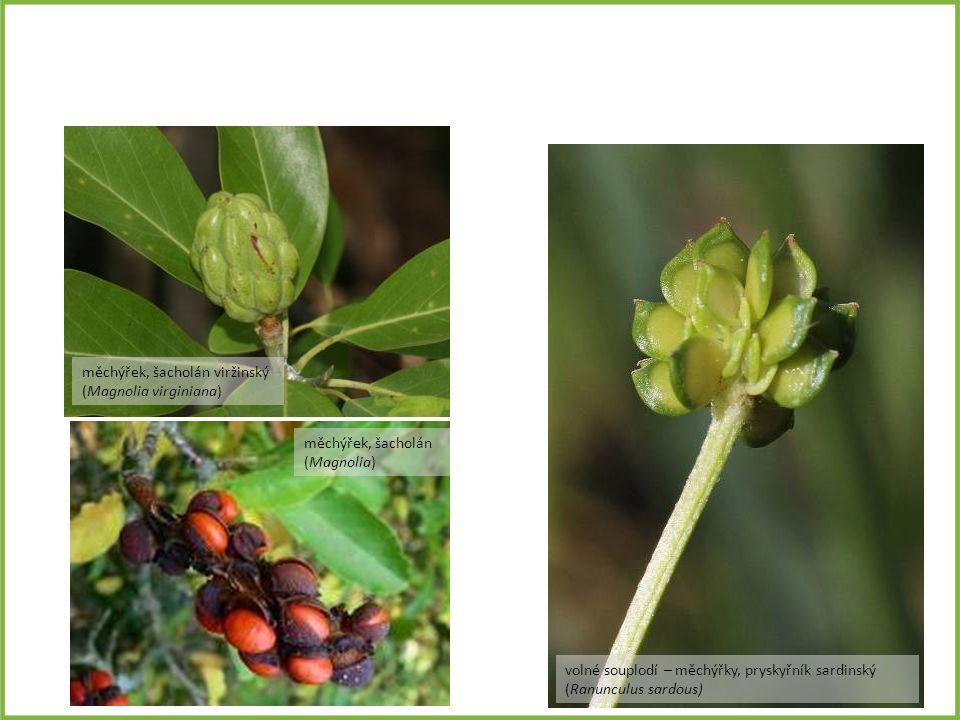volné souplodí – měchýřky, pryskyřník sardinský (Ranunculus sardous) měchýřek, šacholán viržinský (Magnolia virginiana) měchýřek, šacholán (Magnolia)