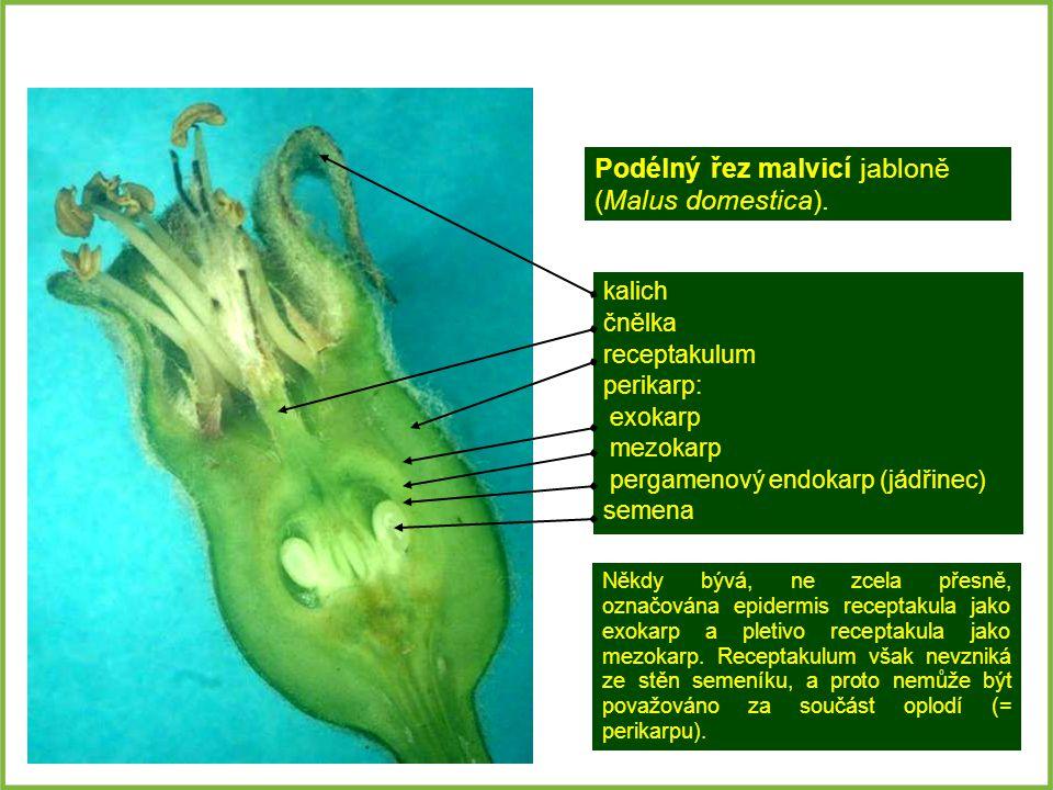 Podélný řez malvicí jabloně (Malus domestica).