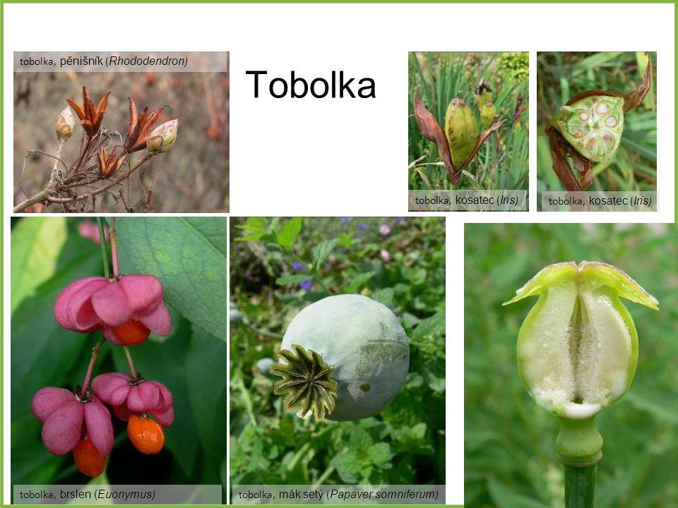 Tobolka tobolka, pěnišník ( Rhododendron ) tobolka, mák setý ( Papaver somniferum )tobolka, brslen (Euonymus ) tobolka, kosatec ( Iris )