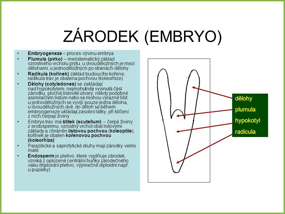 ZÁRODEK (EMBRYO) Embryogeneze – proces vývinu embrya Plumula (pírko) – meristematický základ vzrostného vrcholu prýtu, u dvouděložných je mezi dělohami, u jednoděložných po stranách dělohy Radikula (kořínek) základ budoucího kořene, radikula trav je obalena pochvou (koleorhize) Dělohy (cotyledones) se zakládají nad hypokotylem, nejmohutněji vyvinutá část zárodku, ploché listovité útvary, někdy podobné asimilačním listům nebo se mohou výrazně lišit, u jednoděložných se vyvíjí pouze jedna děloha, u dvouděložných dvě, do děloh se během embryogeneze ukládají zásobní látky, při klíčení z nich čerpají živiny Embryo trav má štítek (scutellum) – čerpá živiny z endospermu, vzrostný vrchol obal listovými základy a chráněn listovou pochvou (koleoptile), kořínek je obalen kořenovou pochvou (koleorhiza) Parazitické a saprofytické druhy mají zárodky velmi malé Endosperm je pletivo, které vyplňuje zárodek, vzniká z oplozené centrální buňky zárodečného vaku (triploidní pletivo, výjimečně diploidní např.