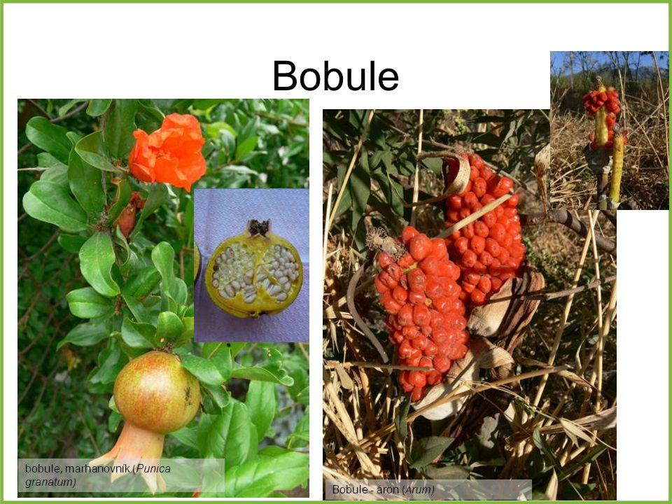 Bobule bobule, marhanovník ( Punica granatum ) Bobule - áron (A rum )
