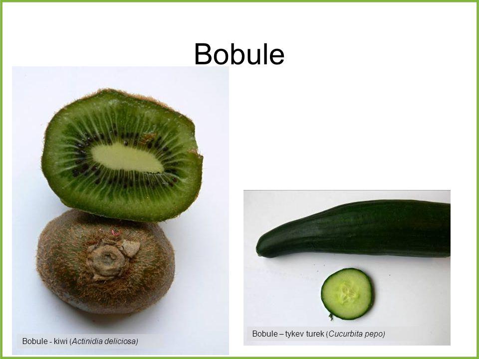 Bobule Bobule – tykev turek ( Cucurbita pepo ) Bobule - kiwi ( Actinidia deliciosa )