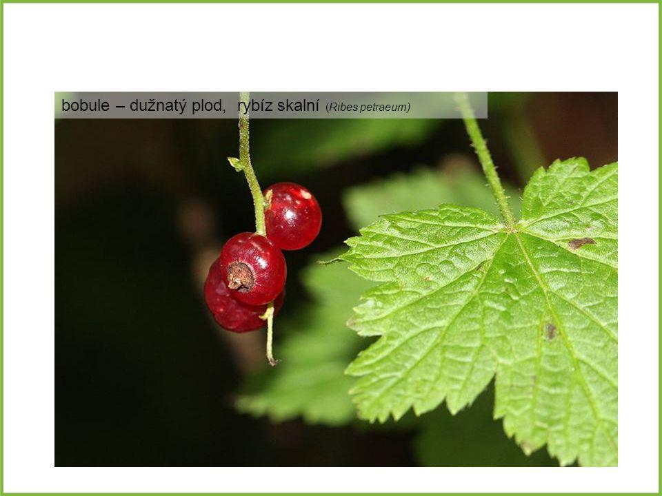 bobule – dužnatý plod, rybíz skalní (Ribes petraeum)