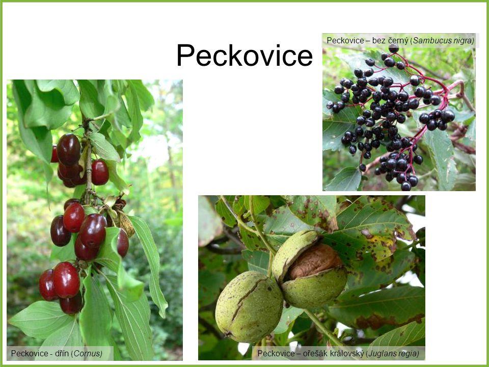 Peckovice Peckovice – ořešák královský ( Juglans regia ) Peckovice – bez černý ( Sambucus nigra ) Peckovice - dřín ( Cornus )