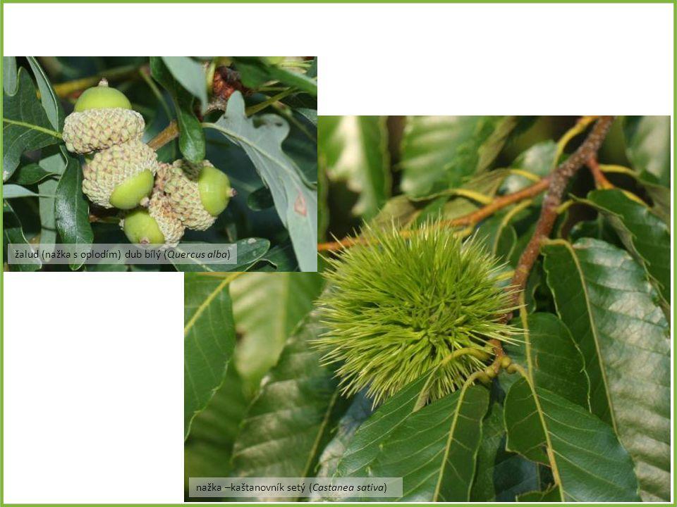nažka –kaštanovník setý (Castanea sativa) žalud (nažka s oplodím) dub bílý (Quercus alba)