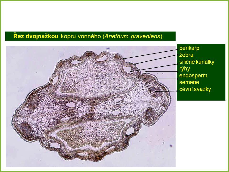 Řez dvojnažkou kopru vonného (Anethum graveolens).