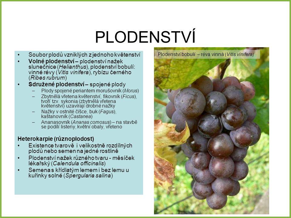 PLODENSTVÍ Soubor plodů vzniklých z jednoho květenství Volné plodenství – plodenství nažek slunečnice (Helianthus), plodenství bobulí: vinné révy (Vitis vinifera), rybízu černého (Ribes rubrum) Sdružené plodenství – spojené plody –Plody spojené periantem morušovník (Morus) –Zbytnělá vřetena květenství, fikovník (Ficus), tvoří tzv.