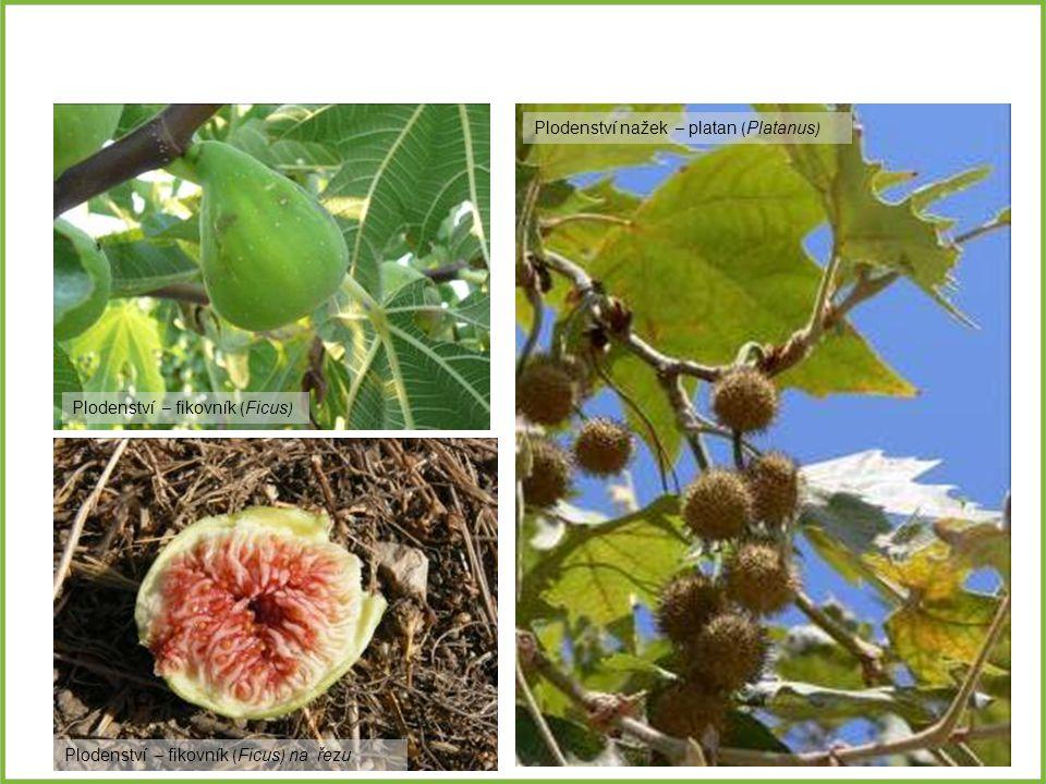 Plodenství – fikovník ( Ficus ) Plodenství nažek – platan ( Platanus ) Plodenství – fikovník ( Ficus ) na řezu