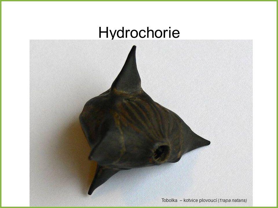 Hydrochorie Tobolka – kotvice plovoucí (T rapa natans )