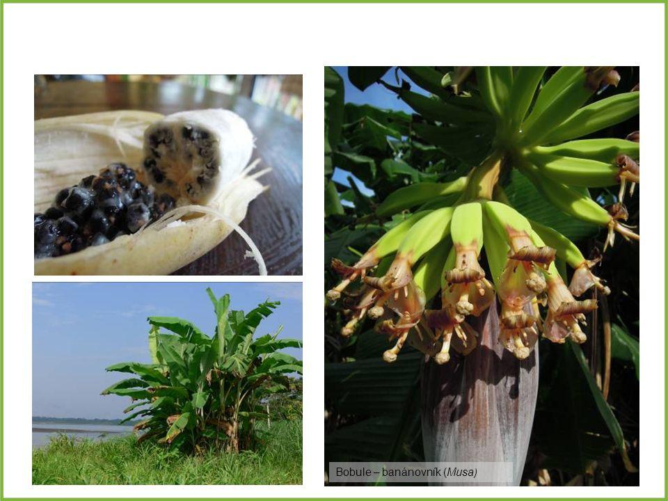 Bobule – banánovník (Musa )