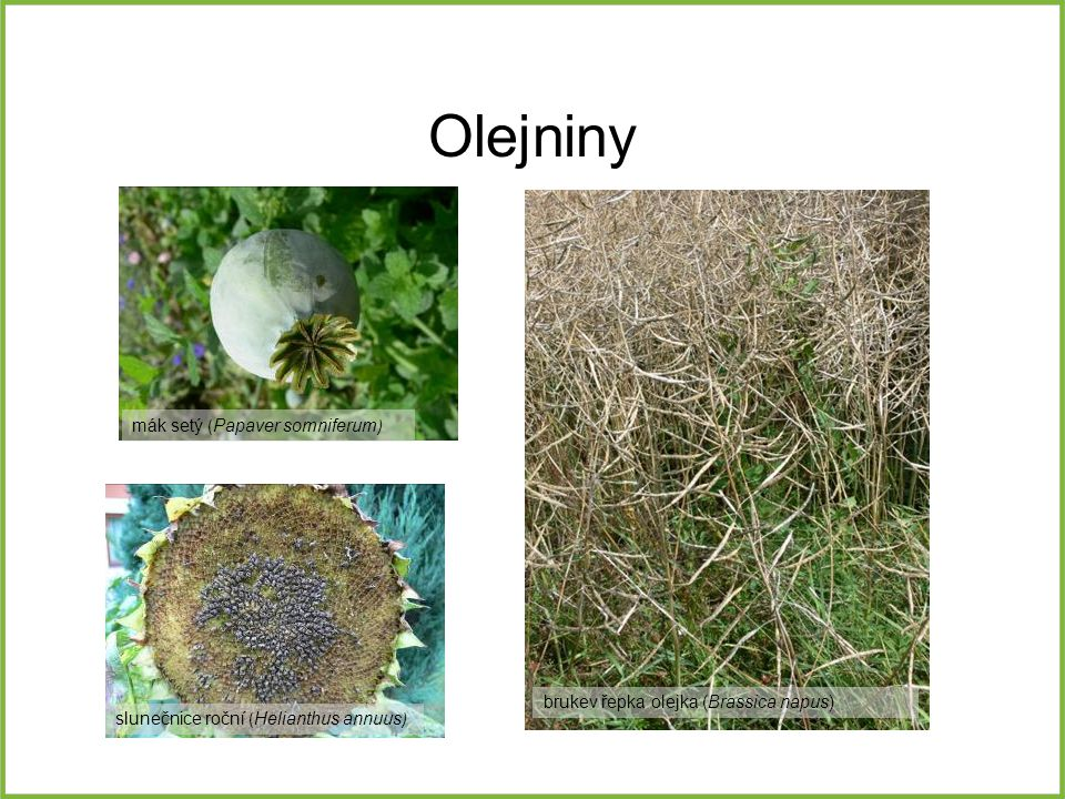 Olejniny slunečnice roční ( Helianthus annuus ) mák setý ( Papaver somniferum ) brukev řepka olejka (Brassica napus)