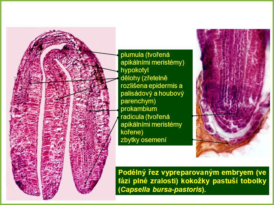 Podélný řez vypreparovaným embryem (ve fázi plné zralosti) kokožky pastuší tobolky (Capsella bursa-pastoris).